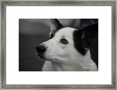 Canaan Dog Framed Print