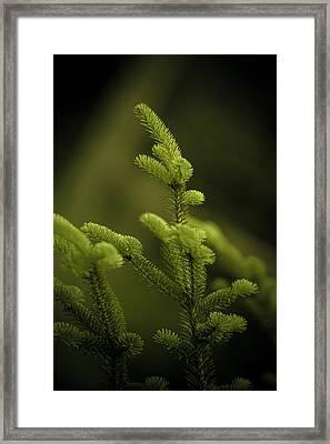 Canaan Fir Framed Print by Shane Holsclaw