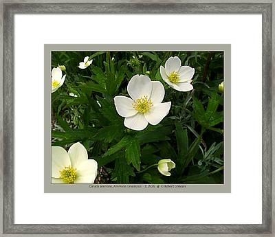 Canada Anemone - Anemone Canadensis - 11jn26 Framed Print by Robert G Mears