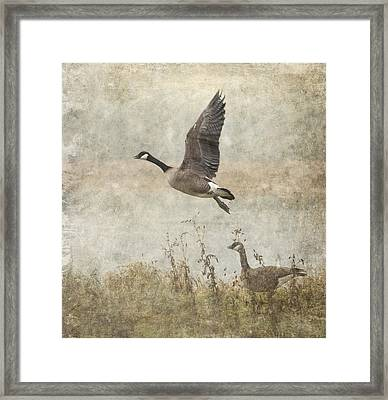 Canada Geese 2 Framed Print by Angie Vogel