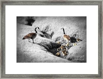Canada Geese Family Framed Print by Elena Elisseeva