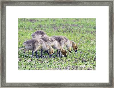 Canada Geese Goslings Framed Print by Sharon Talson