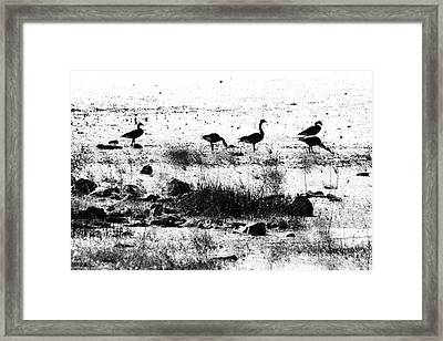 Canada Geese In Black And White Framed Print by Betty LaRue