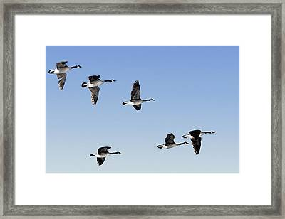 Canada Geese In Flight, Algonquin Park Framed Print by Doug Hamilton