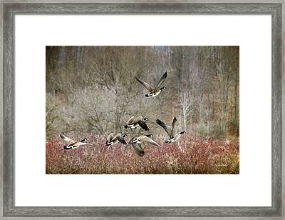 Canada Geese In Flight Framed Print