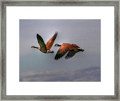 Canada Geese In Flight Framed Print by Larry Trupp