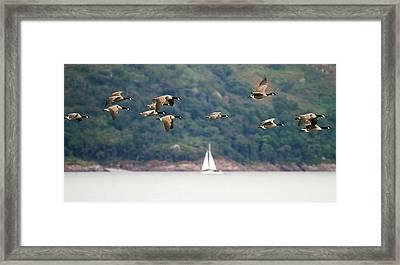 Canada Geese In Flight Mull Scotland Framed Print