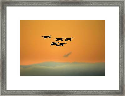 Canada Geese Framed Print by Simon Booth