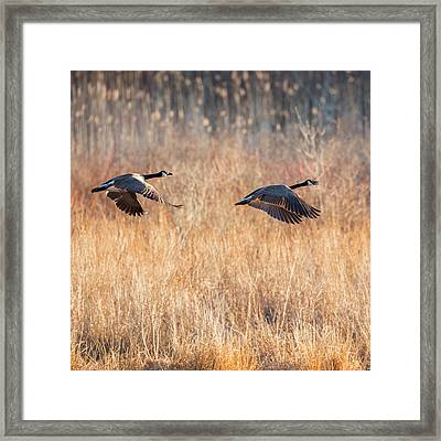 Canada Geese Square Framed Print
