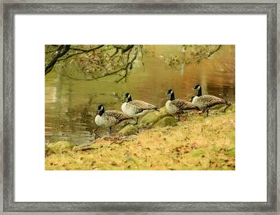 Canada Geese Framed Print