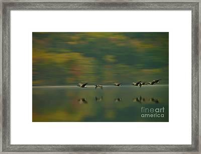 Canada Geese Whoosh Framed Print by Steve Clough