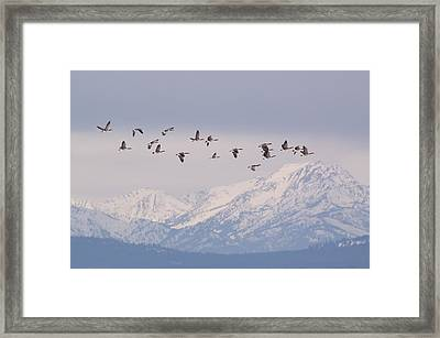 Canada Geese Winging  Over Snow Capped Peaks Framed Print by Tom Reichner