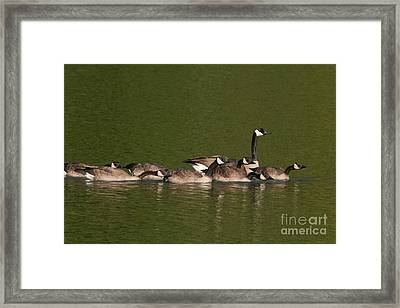 Canada Goose And Chicks Framed Print by Ron Sanford