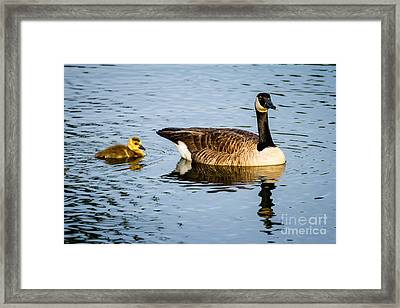 Canada Goose And Gosling Framed Print by Dawna  Moore Photography