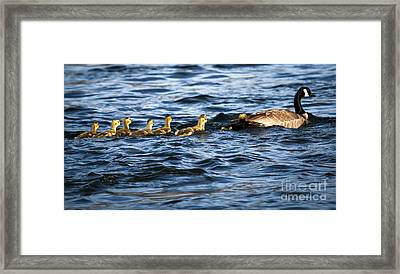 Canada Goose And Goslings Framed Print by Robert Bales