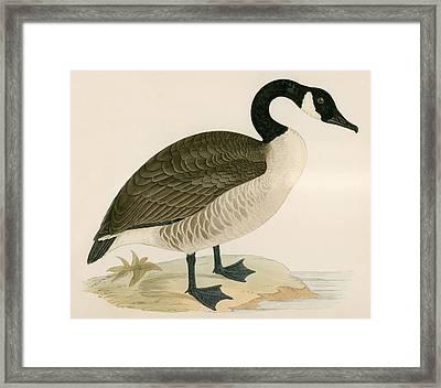 Canada Goose Framed Print by Beverley R Morris