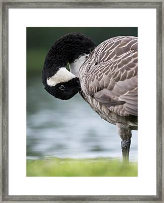 Canada Goose (branta Canadensis Framed Print by Martin Zwick
