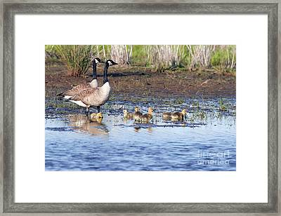 Canada Goose Family Framed Print by Martha Marks