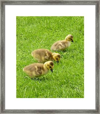 Canada Goose Goslings Framed Print by Brian Chase