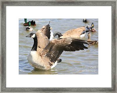 Canada Goose In Pond Framed Print