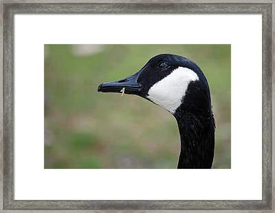 Canada Goose Framed Print by Lisa Phillips