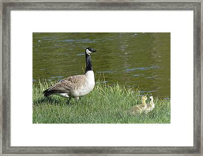 Canada Goose Mom With Goslings Framed Print by Bruce Gourley