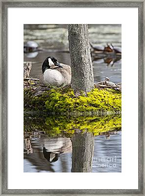 Canada Goose On Nest Framed Print by Michael Cummings