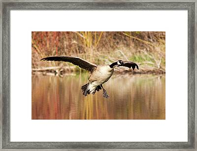 Canada Goose Prepares To Land In Small Framed Print by Chuck Haney