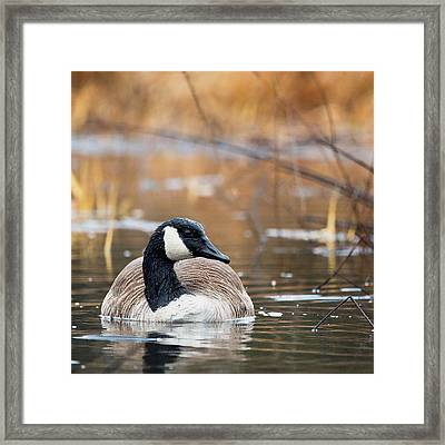 Canada Goose Square Framed Print by Bill Wakeley