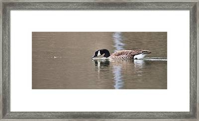 Canada Goose Swimming Framed Print by Dan Sproul