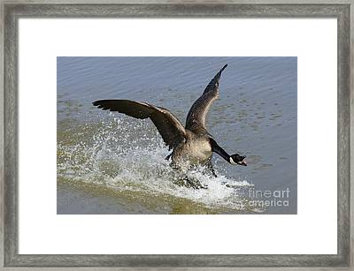 Canada Goose Touchdown Framed Print by Bob Christopher