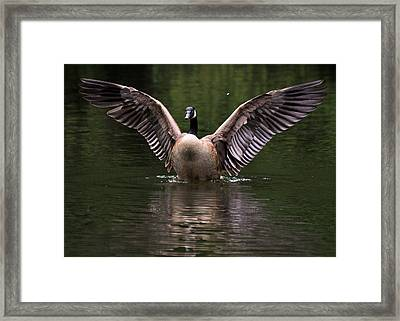 Canada Goose Wing Display - C3448d Framed Print by Paul Lyndon Phillips