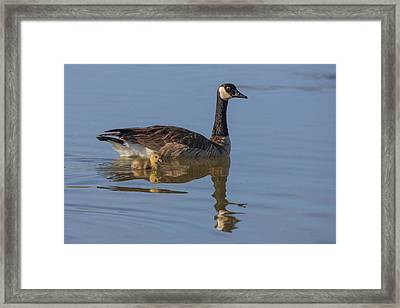 Canada Goose With Chick Framed Print by Tom Norring