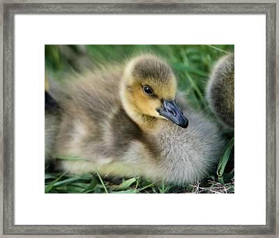 Canada Gosling Framed Print