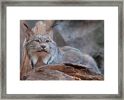 Framed Print featuring the photograph Canada Lynx by Bianca Nadeau
