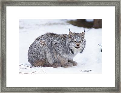 Canada Lynx Crouched On The Snowcovered Framed Print by Doug Lindstrand