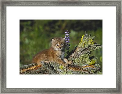Canada Lynx Cub Montana Framed Print by Alan & Sandy Carey