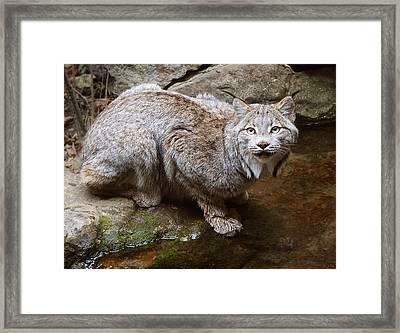 Canada Lynx Framed Print by Jim Hughes