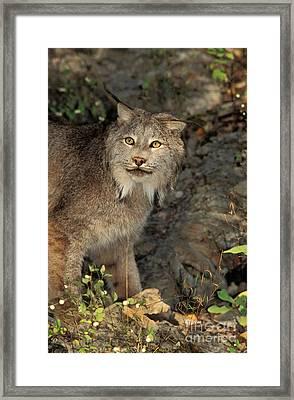 Canada Lynx Lynx Canadensis Framed Print by Ron Sanford