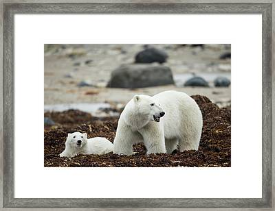 Canada, Manitoba, Churchill, Polar Bear Framed Print by Paul Souders
