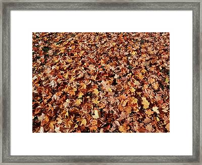 Canada, Ontario, Kitchener, Sugar Maple Framed Print
