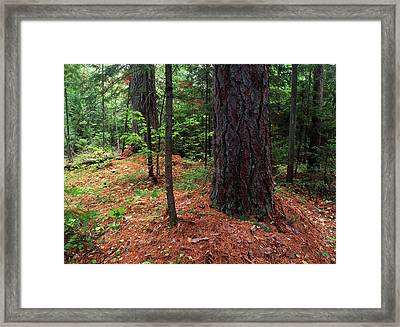 Canada, Ontario, Temagami, Old Growth Framed Print by Jaynes Gallery
