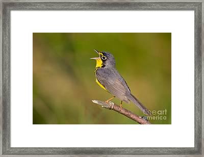 Canada Warbler Framed Print