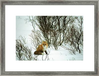 Canada, Yukon, Red Fox, Winter, Snow Framed Print
