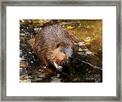 Canada's National Animal The Beaver Framed Print by Inspired Nature Photography Fine Art Photography
