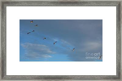 Canadian Geese 1 Of 3 Framed Print by Janet Otto