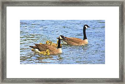 Canadian Geese And Goslings Blue Waters Framed Print by Jennie Marie Schell