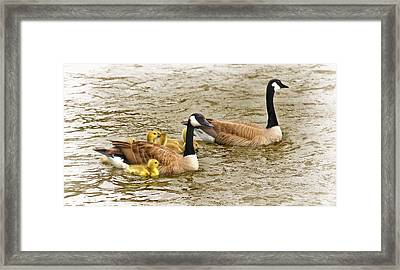 Canadian Geese And Goslings Bright Waters Framed Print by Jennie Marie Schell