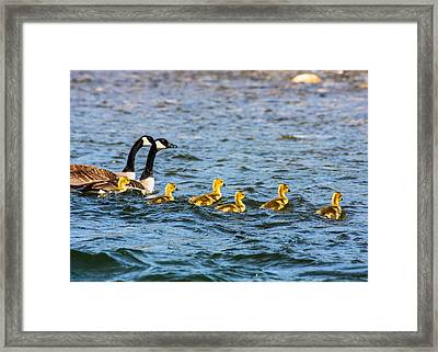 Canadian Geese And Goslings Framed Print by Omaste Witkowski