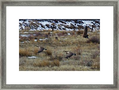 Canadian Geese In Flight Framed Print by Mike  Dawson